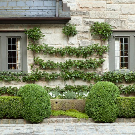 Andrews-espaliered Pear trees