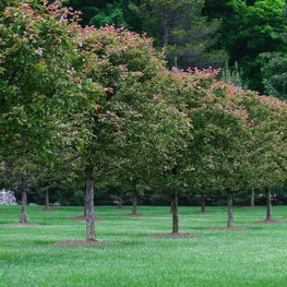 A magnificent orchard with leaves just starting to turn for the fall.