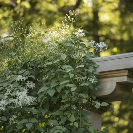 Clematis softens the cedar trellis, which is weathering to a silver