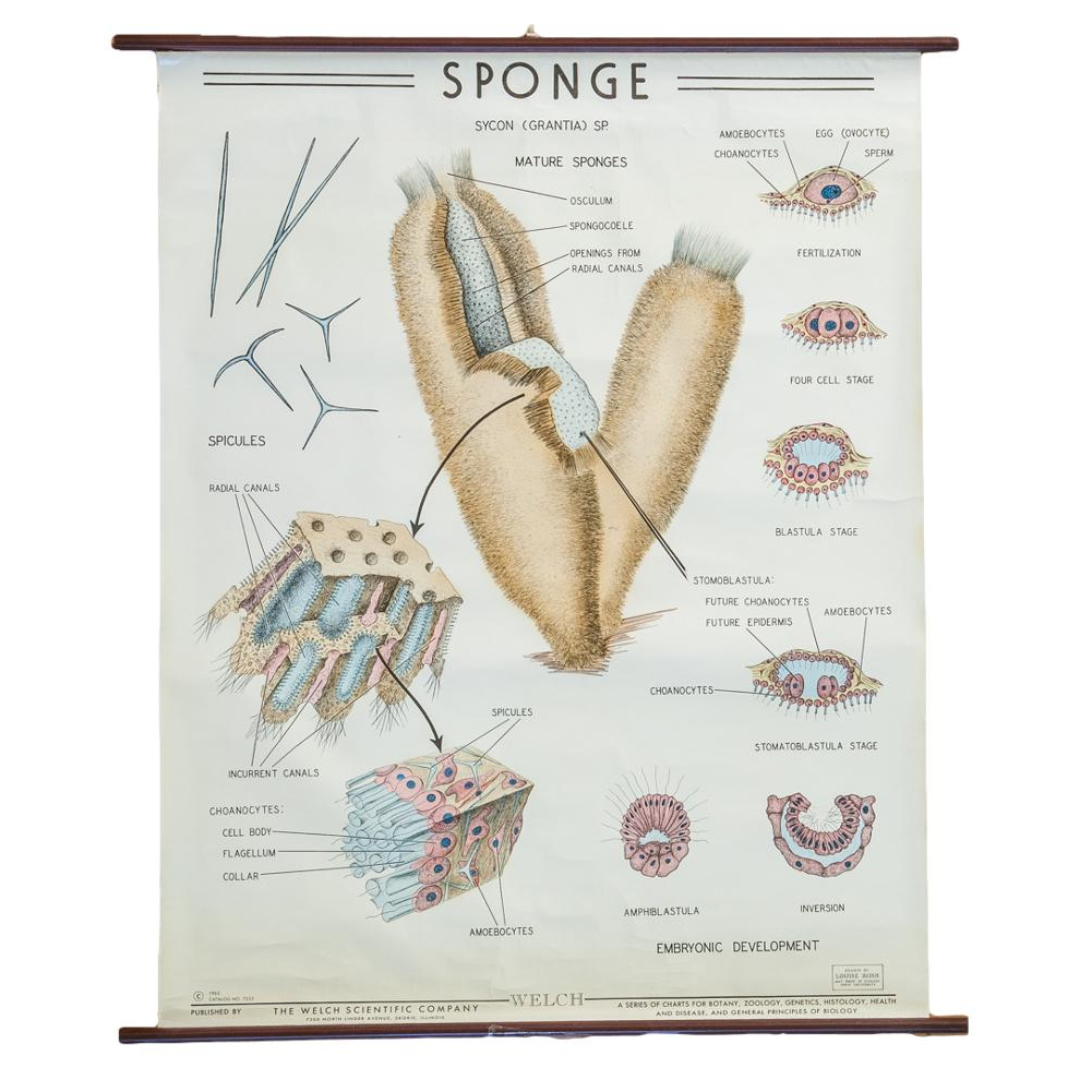 Vintage biology pull down chart of sponge grantia chairish pooptronica Image collections