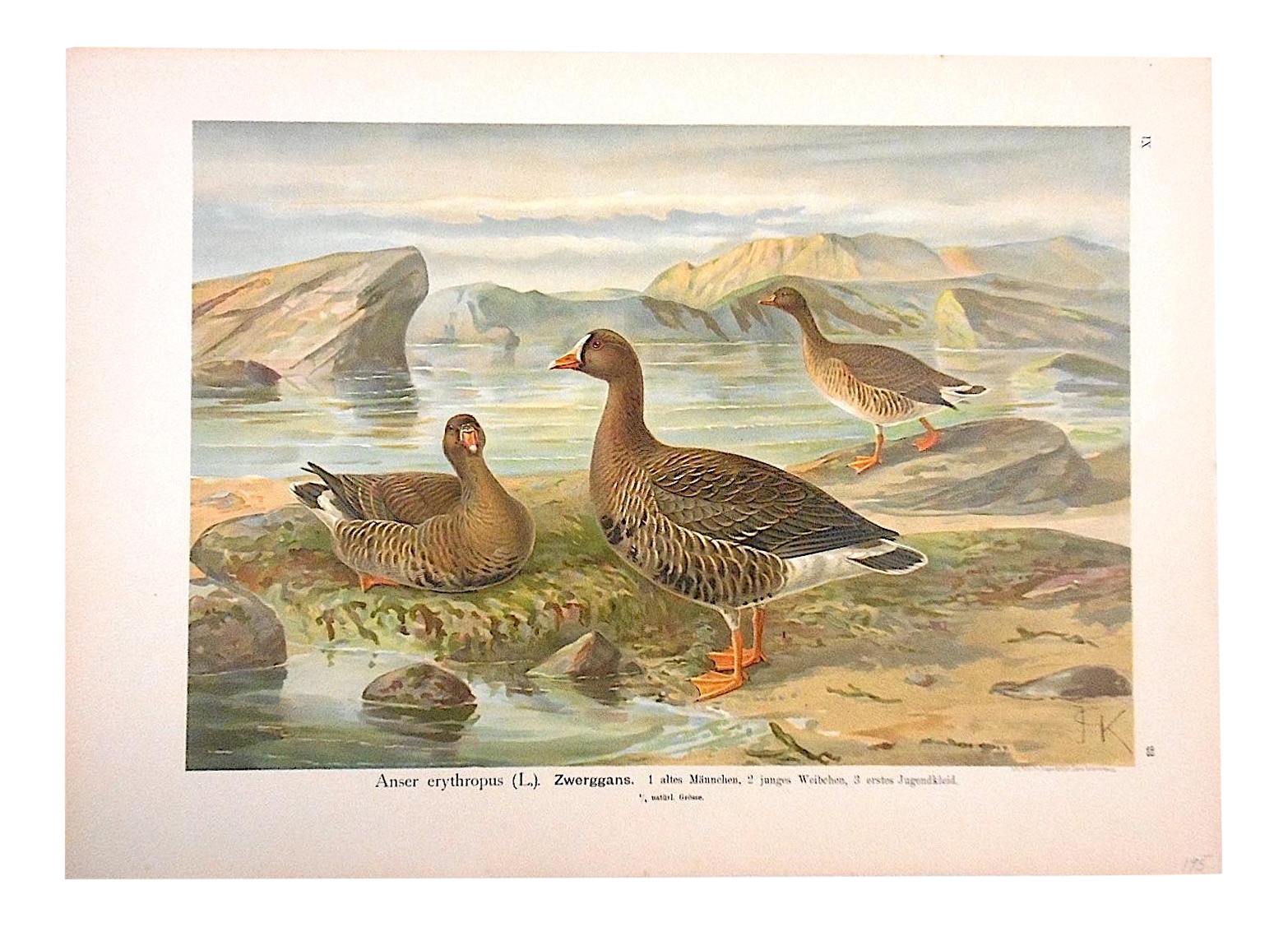 antique bird lithograph  water  u0026 shore birds
