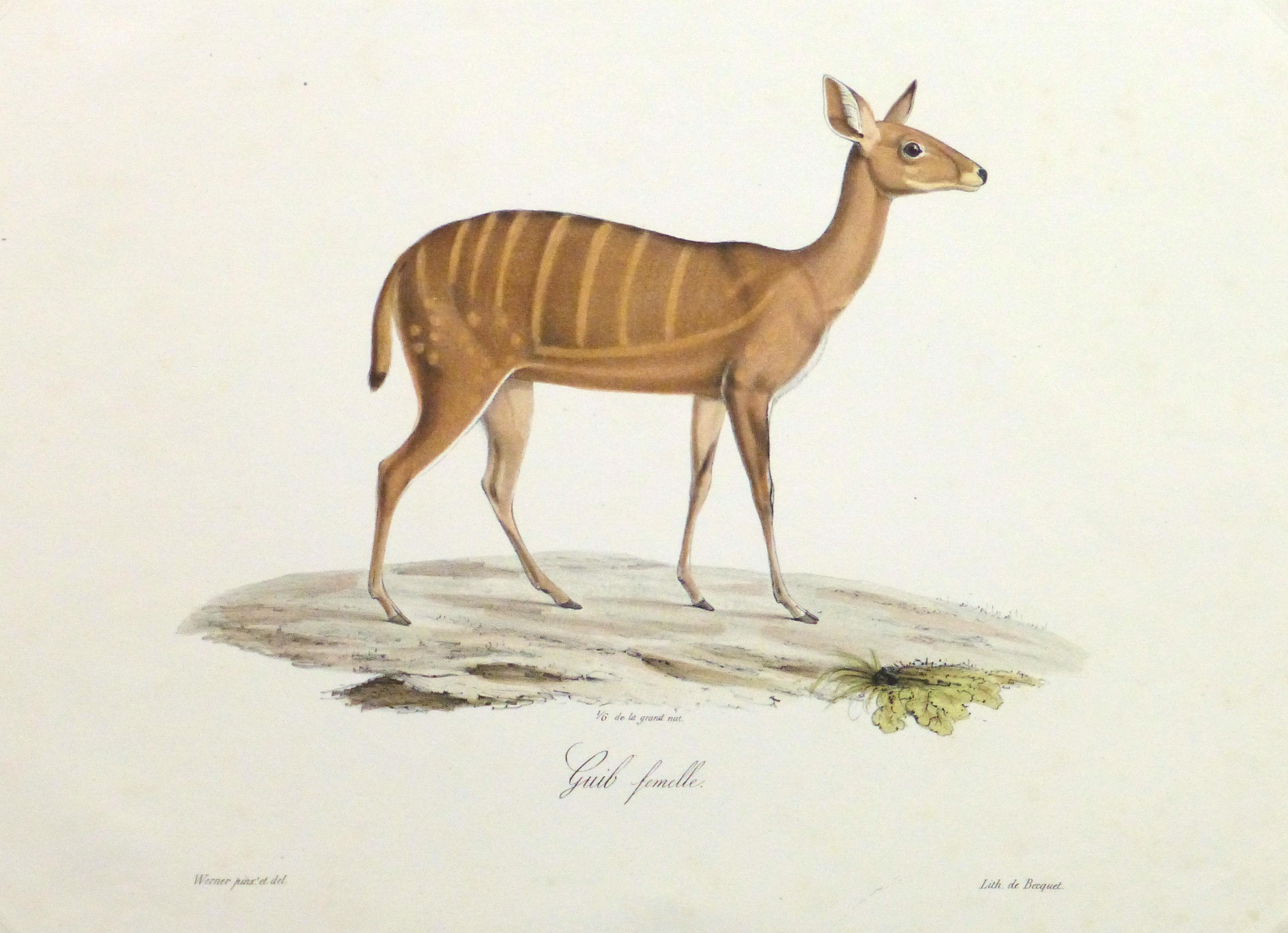 19th century bushbuck deer printengraving chairish