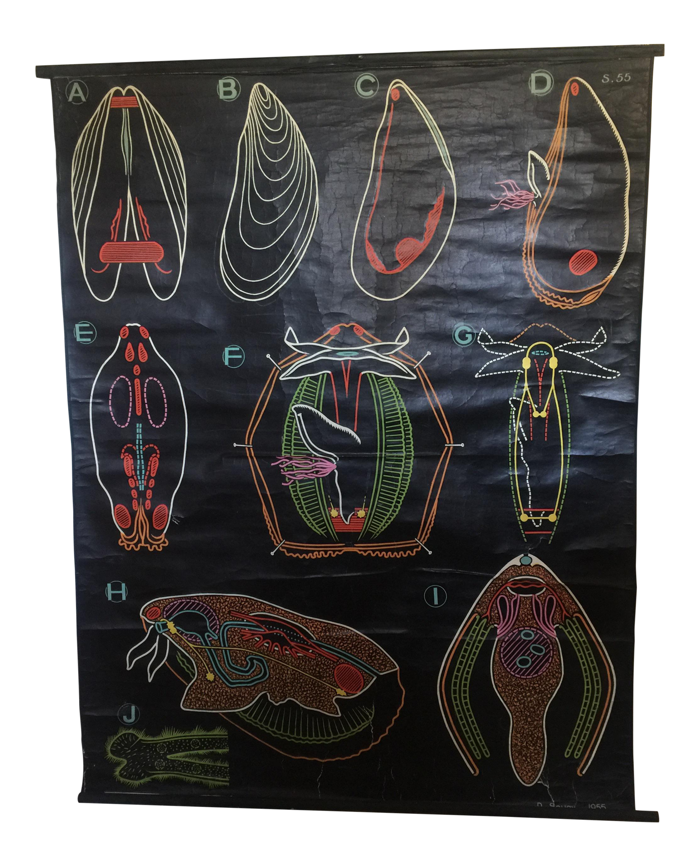 Vintage French Mussels Seafood Anatomy Poster | Chairish
