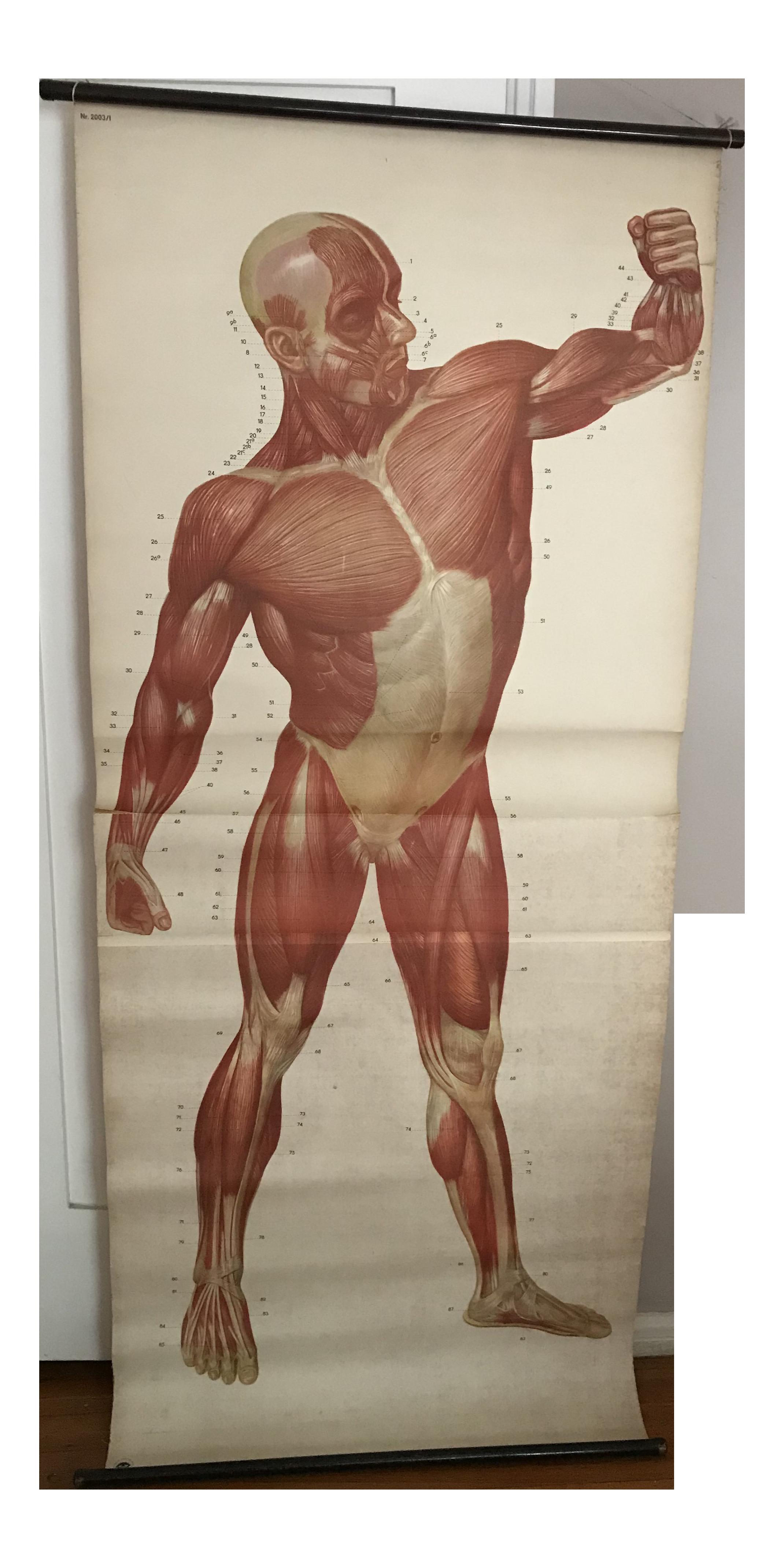 Human Muscle Chart Chairish