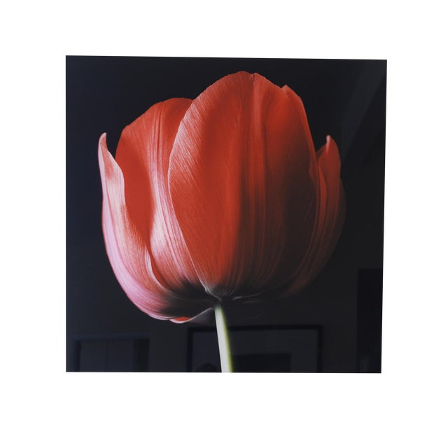 """Red Tulip on Black"" Photograph - Image 4 of 6"