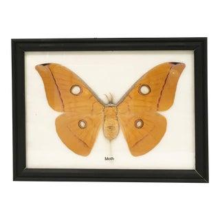 Framed Moth Specimen