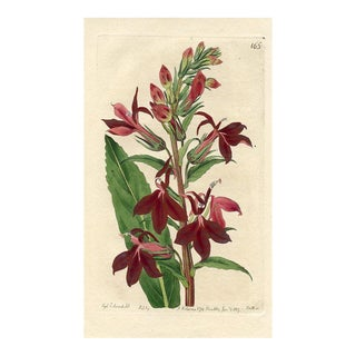 Cardinal Lobelia, 1817 Botanical Print For Sale