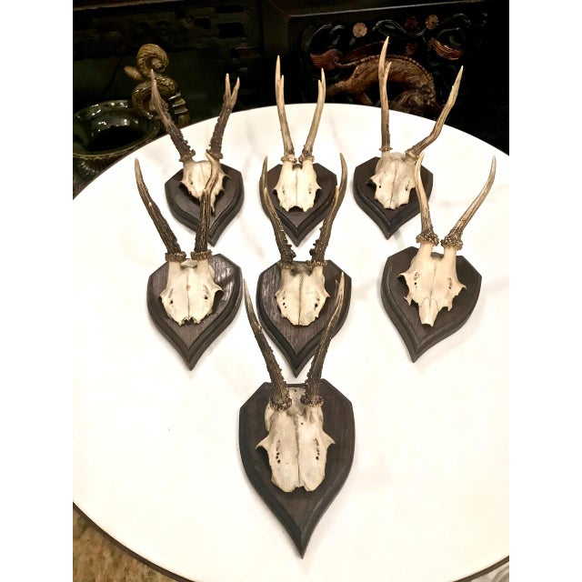 Set of 7 Black Forest Mounted Roebuck Horns, C. 1910 For Sale - Image 11 of 12