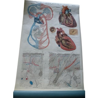 Vintage American Frohse Heart & Skin Anatomy Chart For Sale