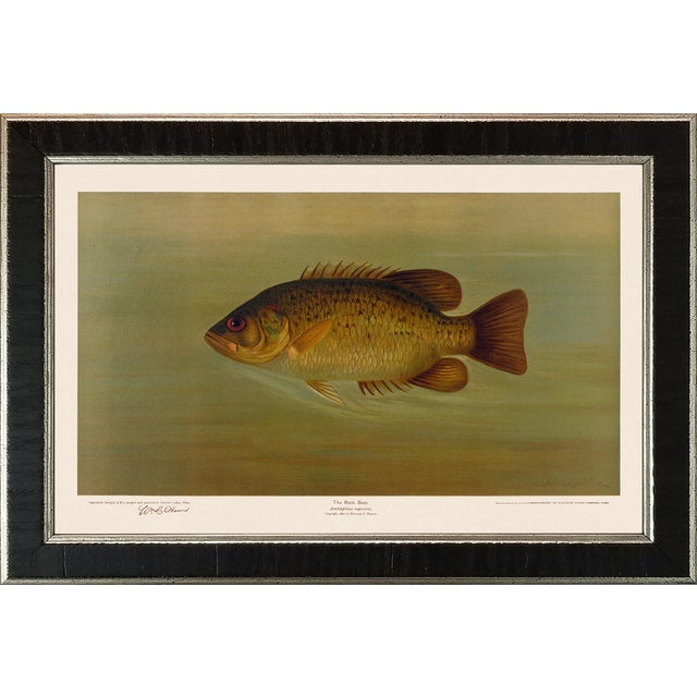 American Fish 34 the Rock Bass by Harris CFA Edition Giclee Print For Sale