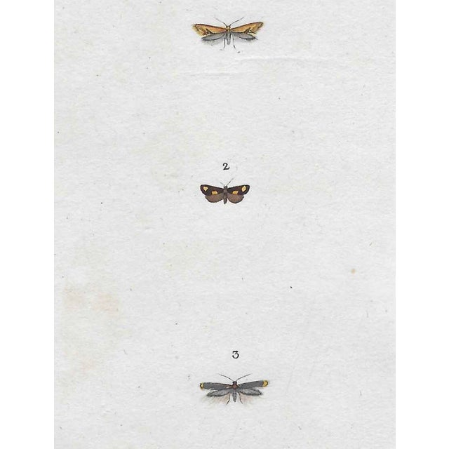 Antique Insect Hand Colored Engraving 1802 For Sale