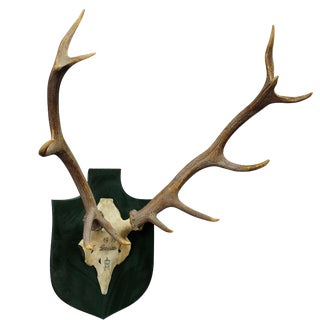 Vintage Deer Trophy Spain 1979 With Twelve Ends For Sale