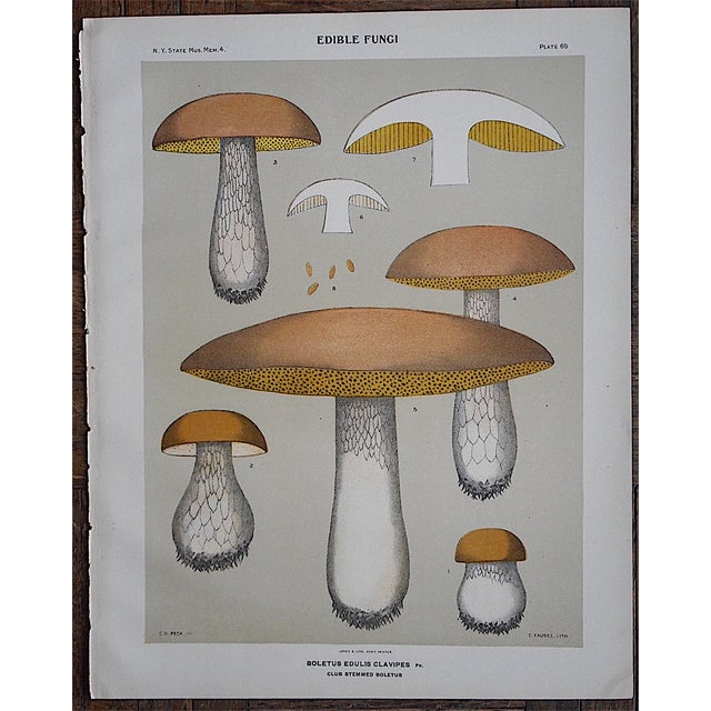 Antique Mushroom Chromolithograph - Image 3 of 3