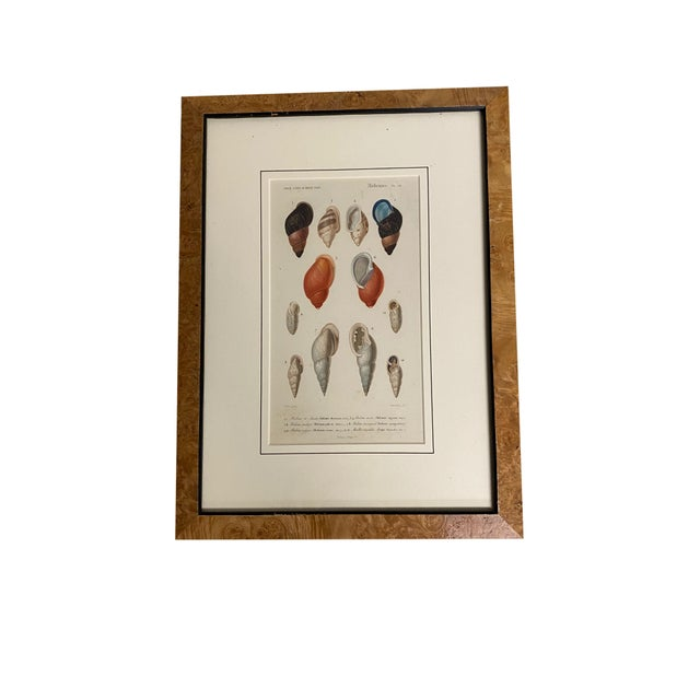 Antique French Mollusk Sea Shell Engravings - Set of Four For Sale - Image 4 of 13