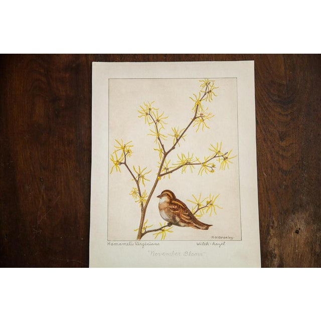 Country R.H. Greeley Witch-Hazel Botanical Watercolor For Sale - Image 3 of 5