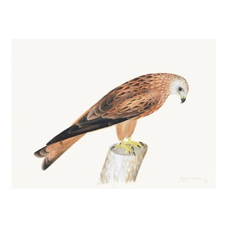 Red Kite Plate 12 by Olof Rudbeck (Cfa-Wd) For Sale