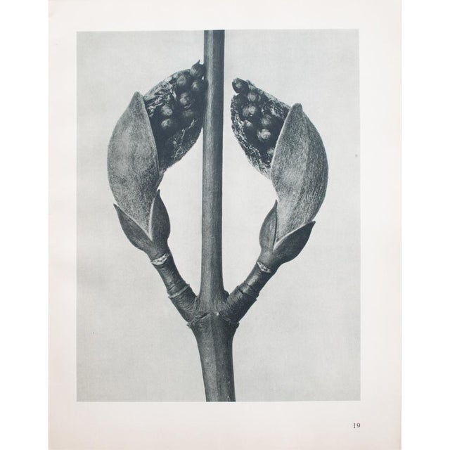 1935 Karl Blossfeldt Photogravure For Sale In Dallas - Image 6 of 12