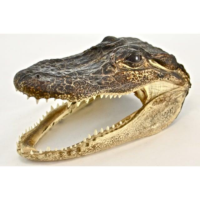 Taxidermy Alligator Head - Image 2 of 5