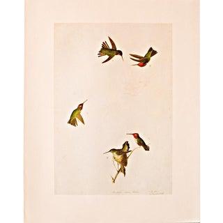 Anna's Hummingbird by John James Audubon, 1966 Vintage Print For Sale