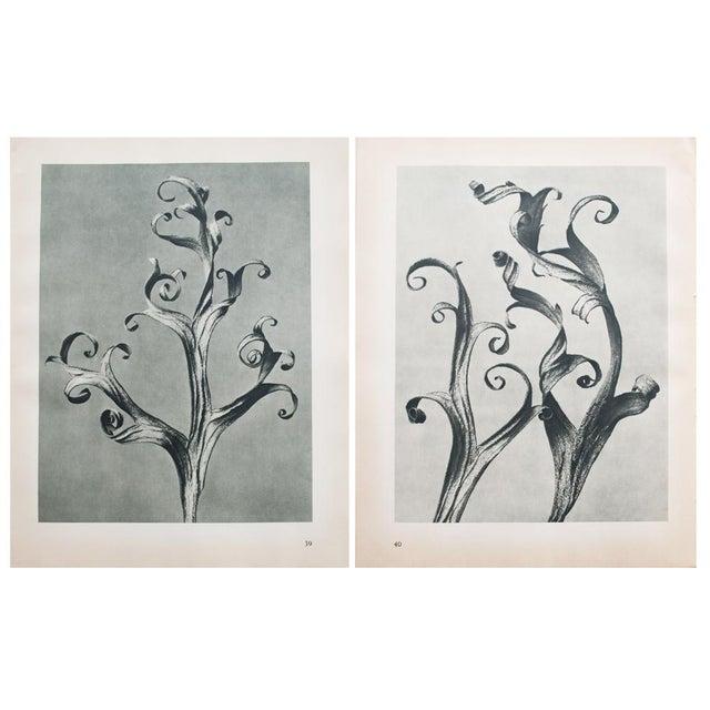 1935 Blossfeldt Photogravure N39-40 - Image 2 of 11