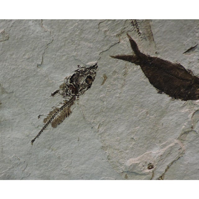 Anonymous Mass Mortality Fish Fossil Slab For Sale - Image 4 of 6