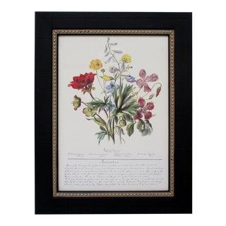 Botanical Print, Ranunculaceae For Sale
