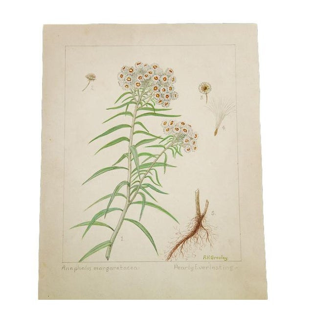 """""""Pearly Everlasting"""" Botanical Watercolor Painting by Rh Greeley For Sale"""