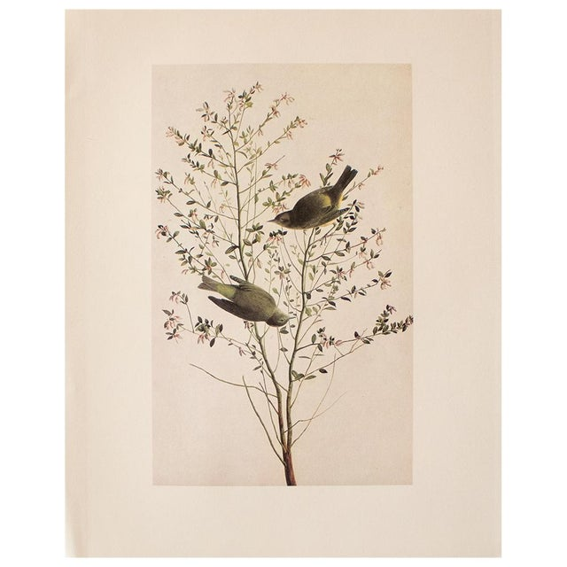 1966 Cottage Print of Orange-Crowned Warbler by Audubon For Sale In Dallas - Image 6 of 8