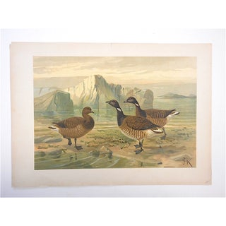 Antique Bird Lithograph - Water & Shore Birds Preview