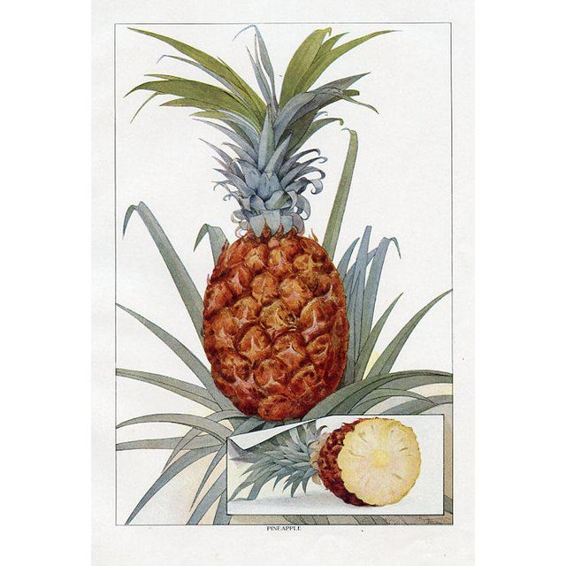Illustration Vintage Pineapple Print From the Early 1900s For Sale - Image 3 of 3