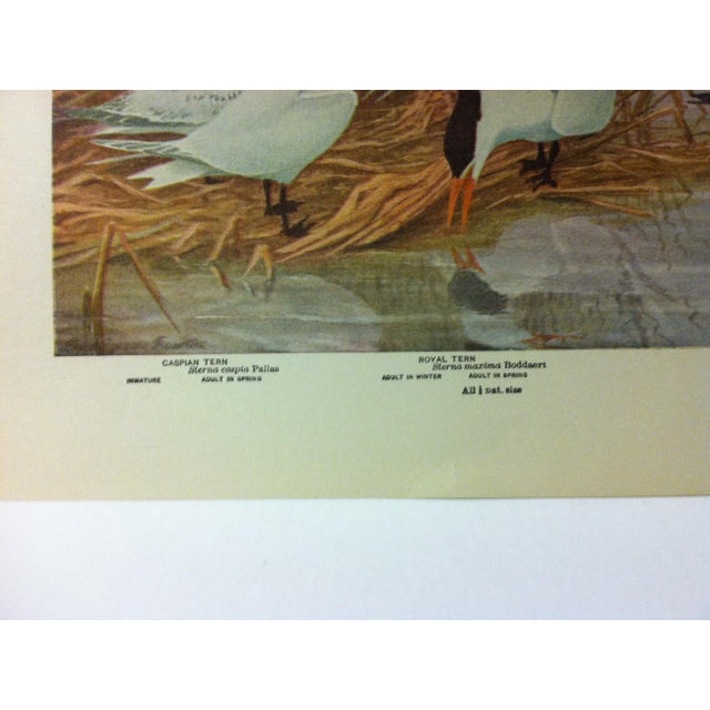 """Realism 1925 """"Caspian Tern - Royal Tern - Black Tern"""" the State Museum Birds of New York Print For Sale - Image 3 of 4"""