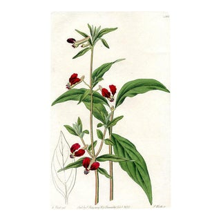 Mexican Bat Flower, 1831 Botanical Print For Sale