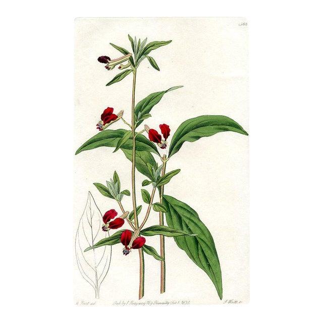 Mexican Bat Flower, 1831 Botanical Print For Sale