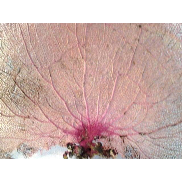 Purple Bahamian Sea Fan For Sale - Image 4 of 5