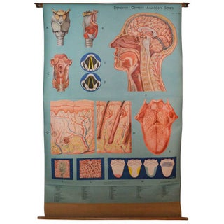 Mid-Century German Anatomy Chart