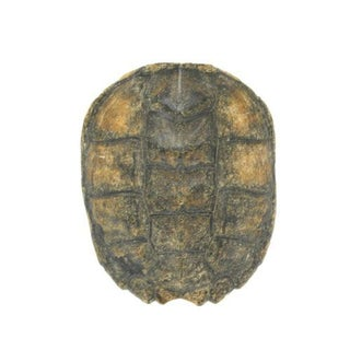 Natural Turtle Shell