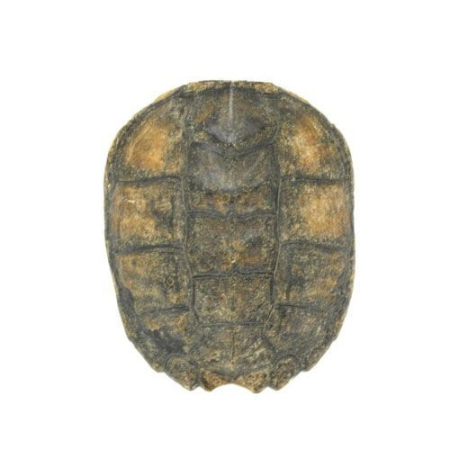 Natural Turtle Shell - Image 1 of 3