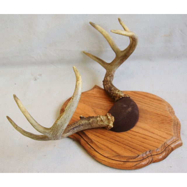 Mid 20th Century Vintage Mounted Trophy Antlers on Wood Plaque For Sale - Image 5 of 8