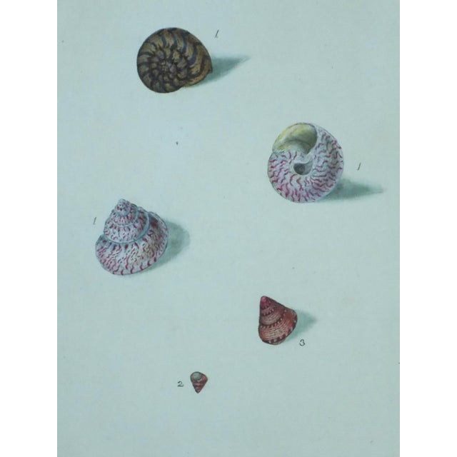 Turbo Shell Prints, 1803 - A Pair - Image 7 of 7