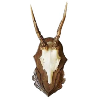 Roe Deer Antler Trophy With Foliate Carved Back For Sale