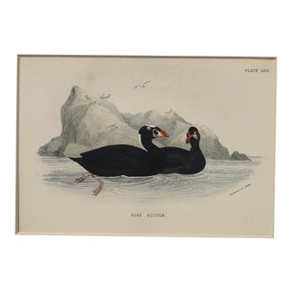 1890 Surf Scoter Sea Bird Chromolithograph