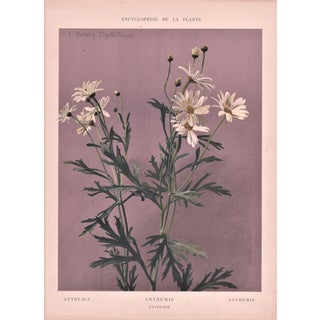 1902 Anthemis Chromolithograph Botanical Print For Sale
