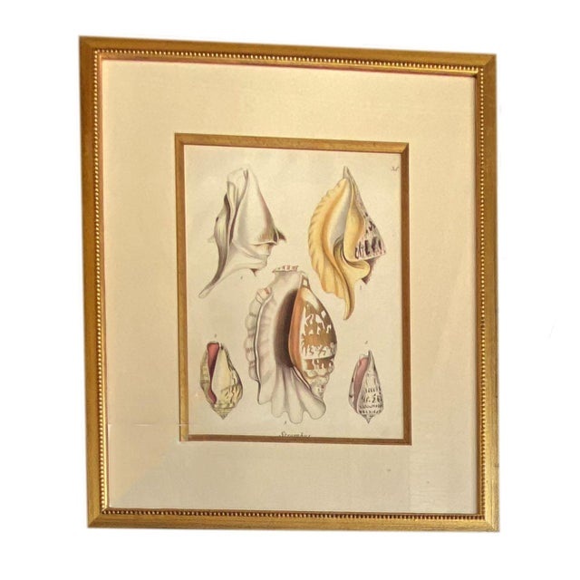 Mid 19th Century Antique Strombus Shell Engraving in Gilt Frame For Sale - Image 5 of 5