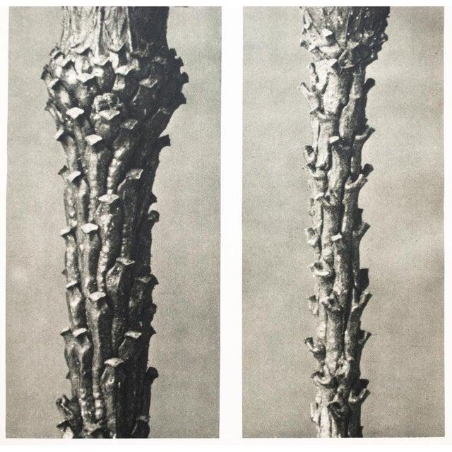 Printmaking Materials 1930s Vintage Karl Blossfeldt Photogravure N17-18 For Sale - Image 7 of 10