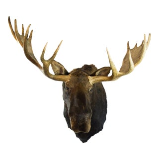 Alaskan Yukon Moose Head Taxidermy Shoulder Mount