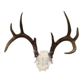 Vintage Natural 8-Point Deer Antler For Sale