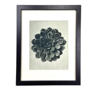 Framed Antique Botanical Blossfeldt Print - No. 30 For Sale