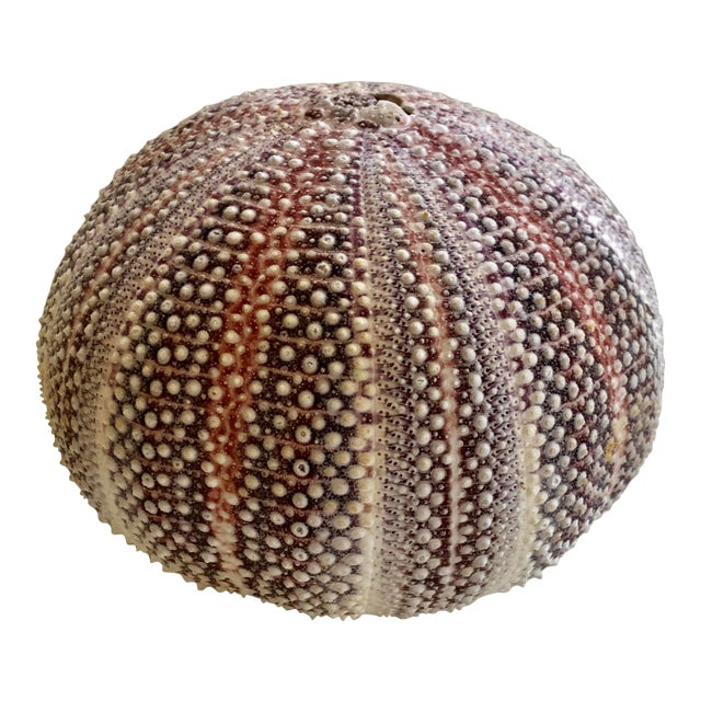 1930s Sea Urchin Shell For Sale