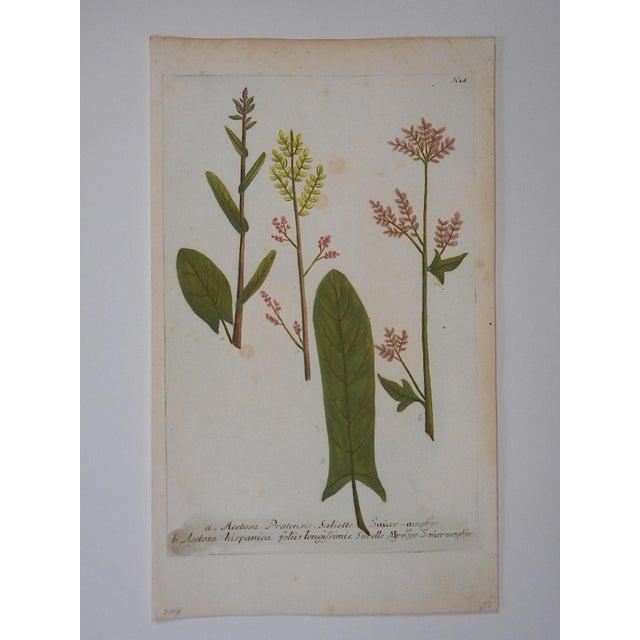 Realism Johann Weinmann Botanical Mezzotint C.1740-Folio Size For Sale - Image 3 of 3
