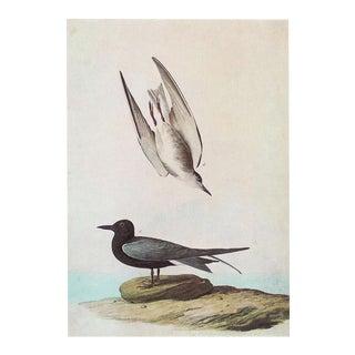 1966 John James Audubon, Cottage Print of Black Tern For Sale